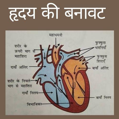 हृदय की बनावट